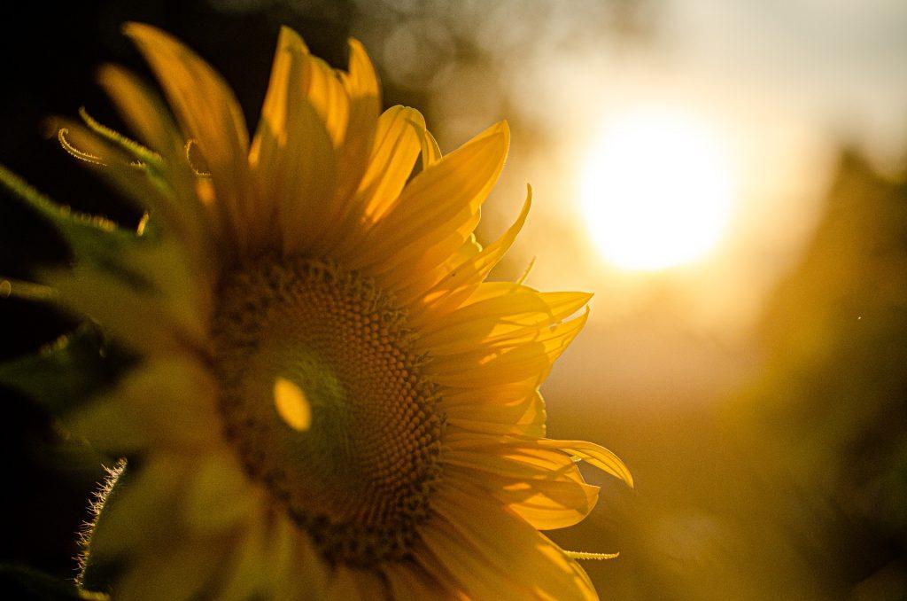 חמניה-בשמש