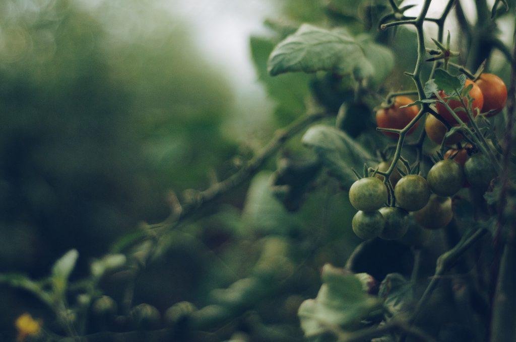 עגבניות-שרי